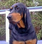 Black and Tan Coonhound puppies for sale