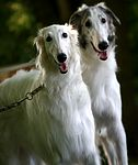 Borzoi puppies for sale
