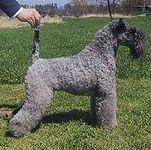 Kerry Blue Terrier puppies for sale