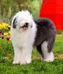 Old English Sheepdog puppies for sale