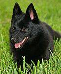 Schipperke puppies for sale