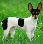 Toy Fox Terrier puppies for sale