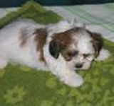 Yorkichon puppies for sale