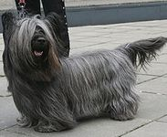 Skye Terrier puppies for sale