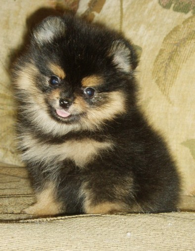 Gallery For > Black And Brown Pomeranian