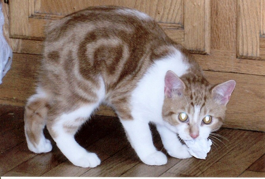 Manx adults for sale