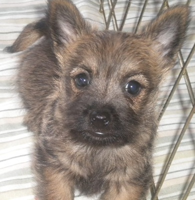 Puppies for sale - Cairn Terrier, Cairn Terriers - ##f_category## in