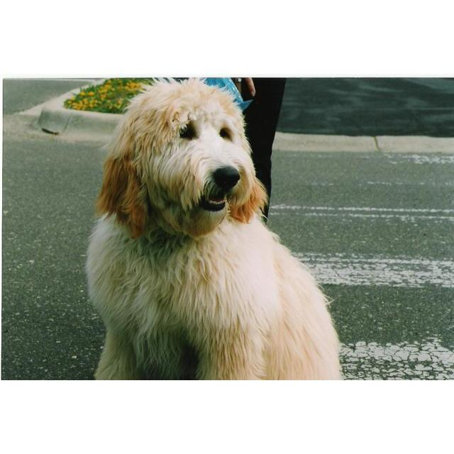 Puppies For Sale Goldendoodle Goldendoodles F