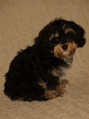 puppies for sale cavachon cavachons fcategory in