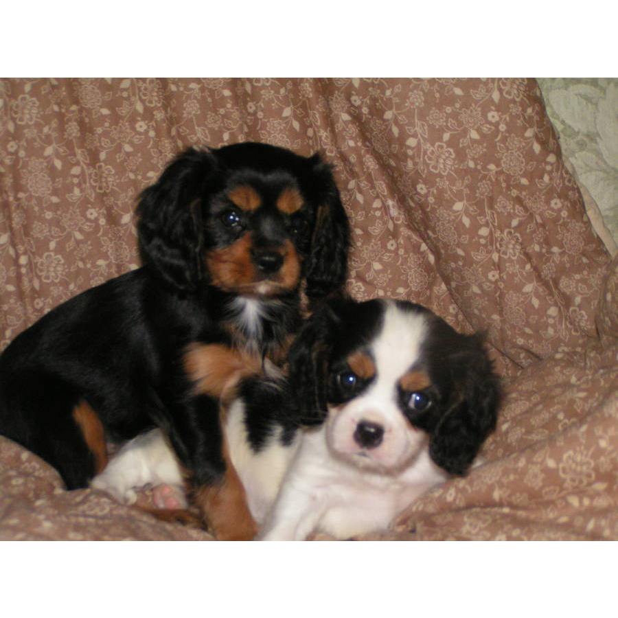 Adult cavalier charles king sale spaniel