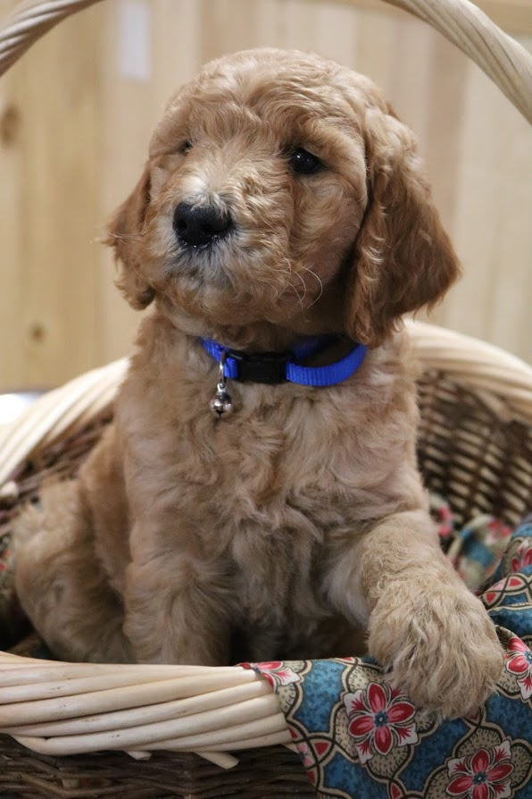Puppies for sale - Goldendoodle, English Goldendoodles ...