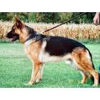 German Shepherds - Stud service