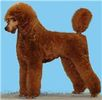 Std Poodle puppies for sale