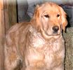 Golden Retreiver puppies for sale