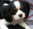 Pennsylvania Cavalier King Charles Spaniel puppies for sale