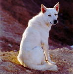 Canaan Dog puppies for sale - Photo by Yigal Parado