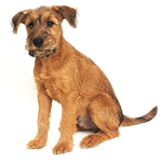 Irish Terrier puppies for sale