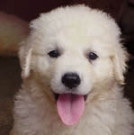 Kuvasz puppies for sale