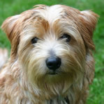 Norfolk Terrier puppies for sale