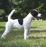 Parson Russell Terrier puppies for sale