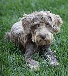 Giant Schnoodle Puppies for Sale