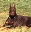 Doberman Pinscher Puppies For Sale Doberman Pinscher Breeders