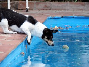 teach your puppy dog how to get out of your pool