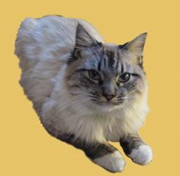 Birman cats for sale