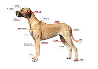 morphology of a dog from Merriam-Webster visual dictionary online