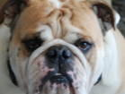 English Bulldog stud services