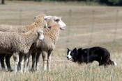herding trials
