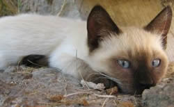 Wedgehead Siamese cat