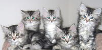 Siberian kittens for sale on Catsforyou.com